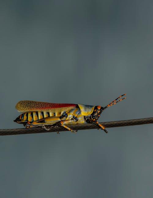 Foto d'estoc gratuïta de insecte, Llagosta, saltamartí