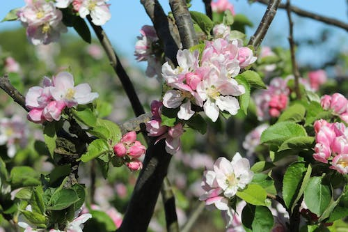 Free stock photo of apple, apple blossom, apple tree, orchard