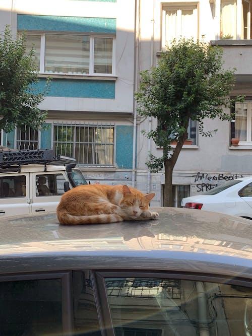 Free stock photo of cat, cats, city cat, sleepy cat