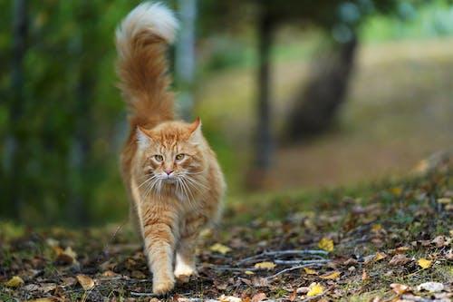 Δωρεάν στοκ φωτογραφιών με tabby cat, αιλουροειδές, αξιολάτρευτος, βλέπω