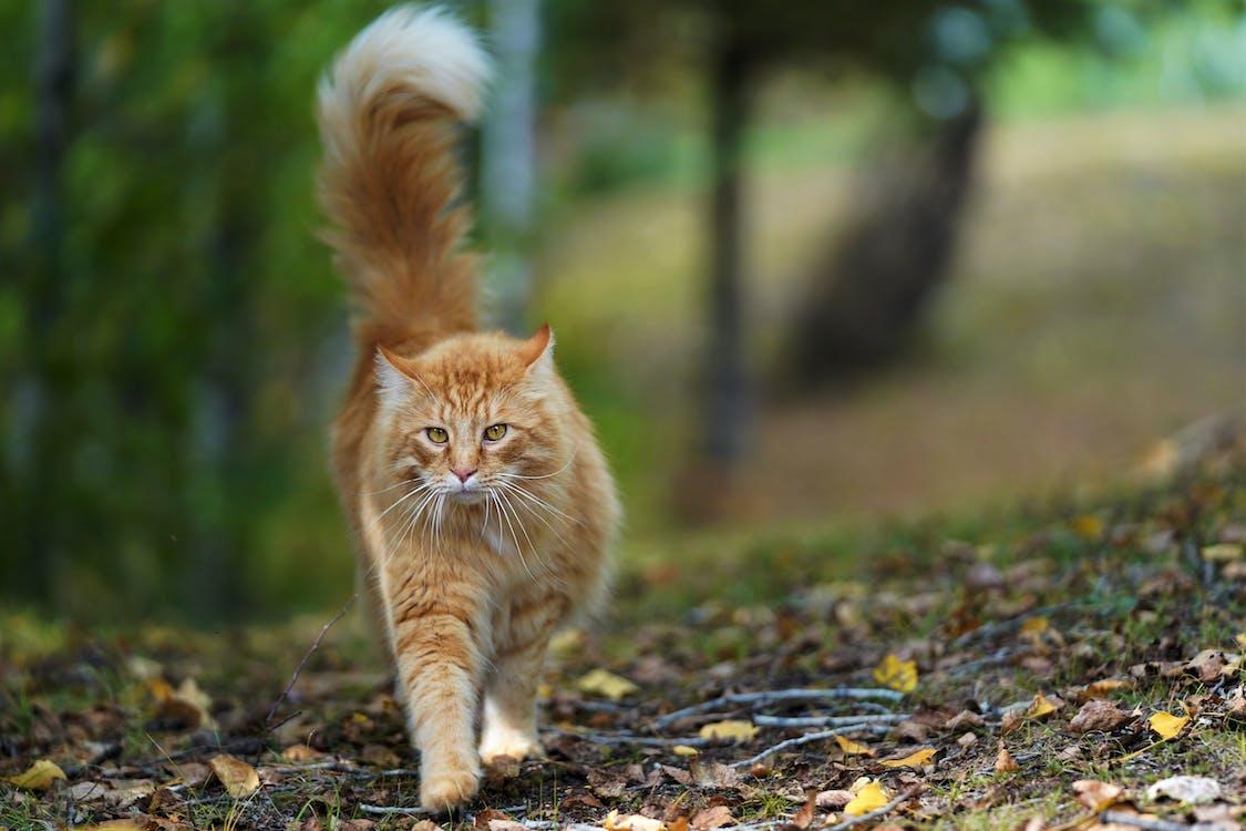 Orange Tabby Cat on Walking