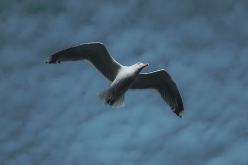 White Gull Flying