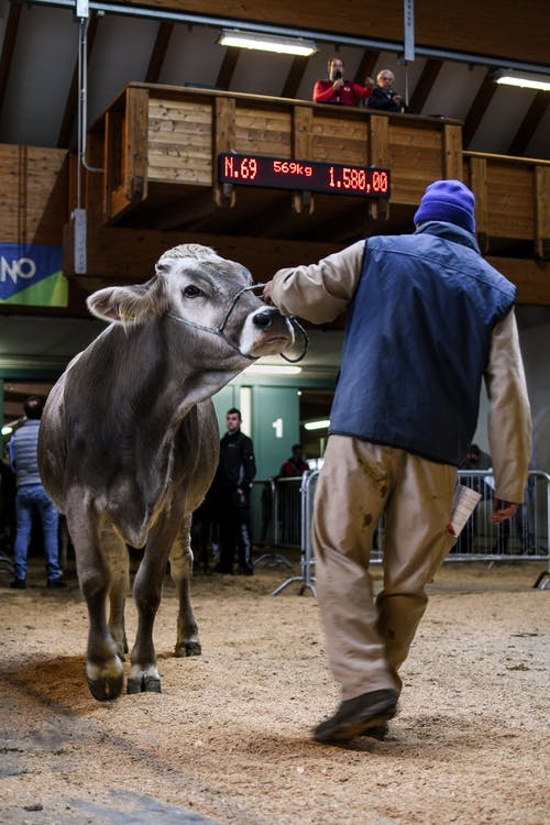 Man in Blue Shirt and Brown Pants Standing Beside Cow