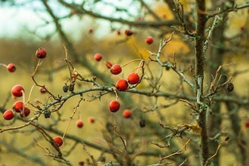 çalı, doğa, kuşburnu içeren Ücretsiz stok fotoğraf