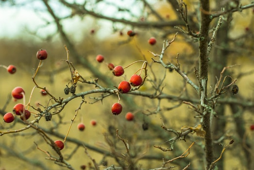 Free stock photo of nature, bush, rosehip