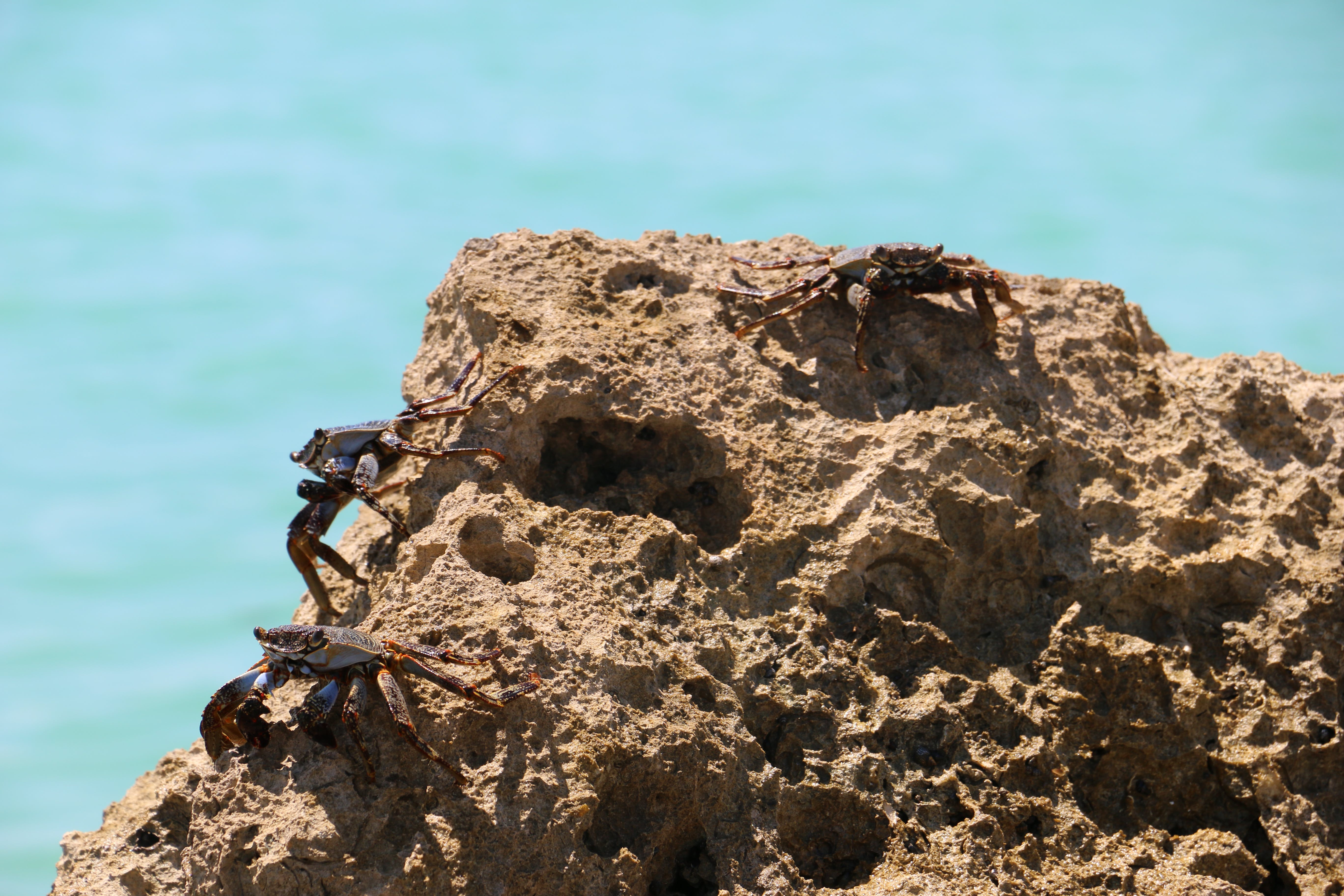 Free stock photo of crabs, miami, rock, seaside