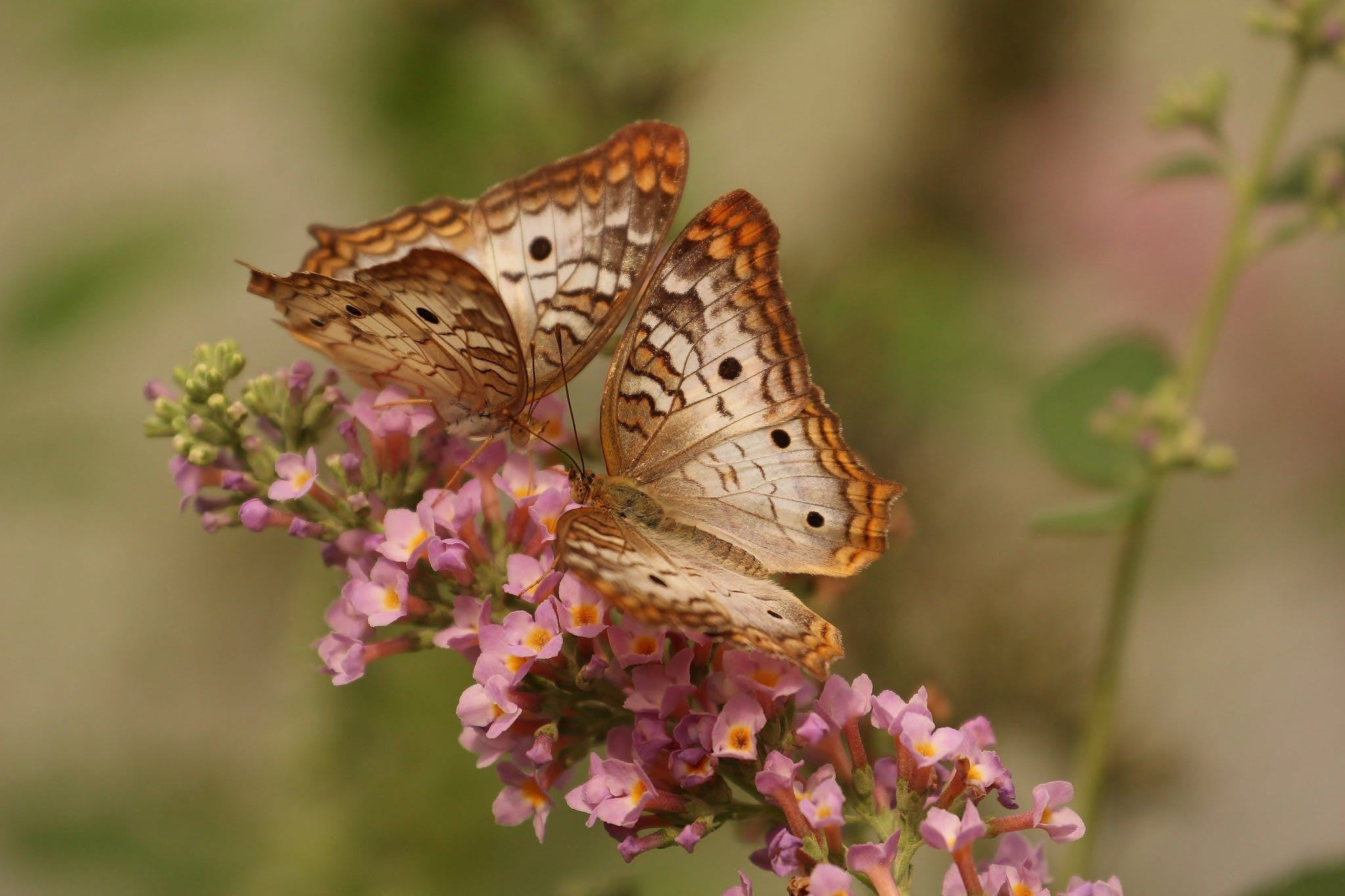 2 Brown and White Butterflies on Pink Flowers