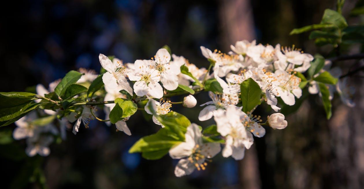Immagine gratuita di bellezza, bianco, fiori