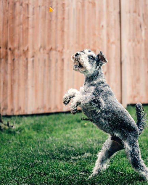緑の芝生のフィールドに白と灰色の小型犬