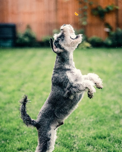 Black and White Miniature Schnauzer Running on Green Grass Field