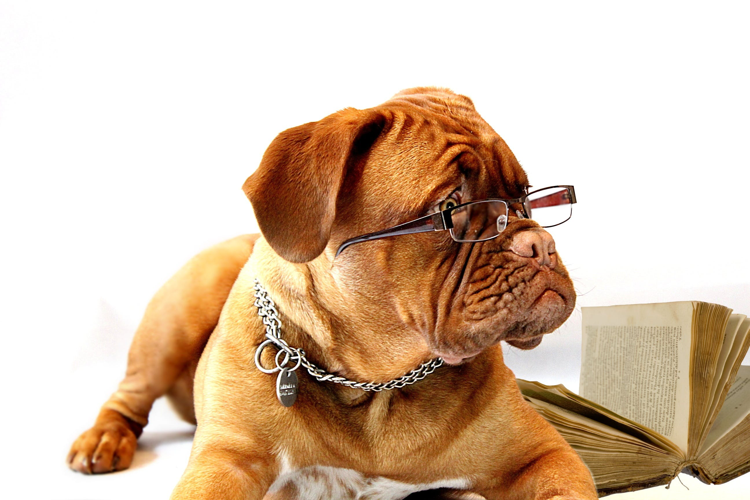 Free stock photo of office, dog, school, glasses