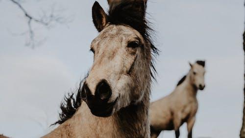 Free stock photo of horse, horse rider, horses, white horse
