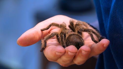 Person Holding Black and Brown Tarantula