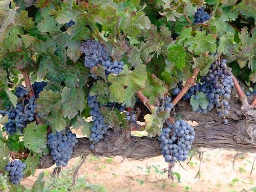 Free stock photo of vineyard