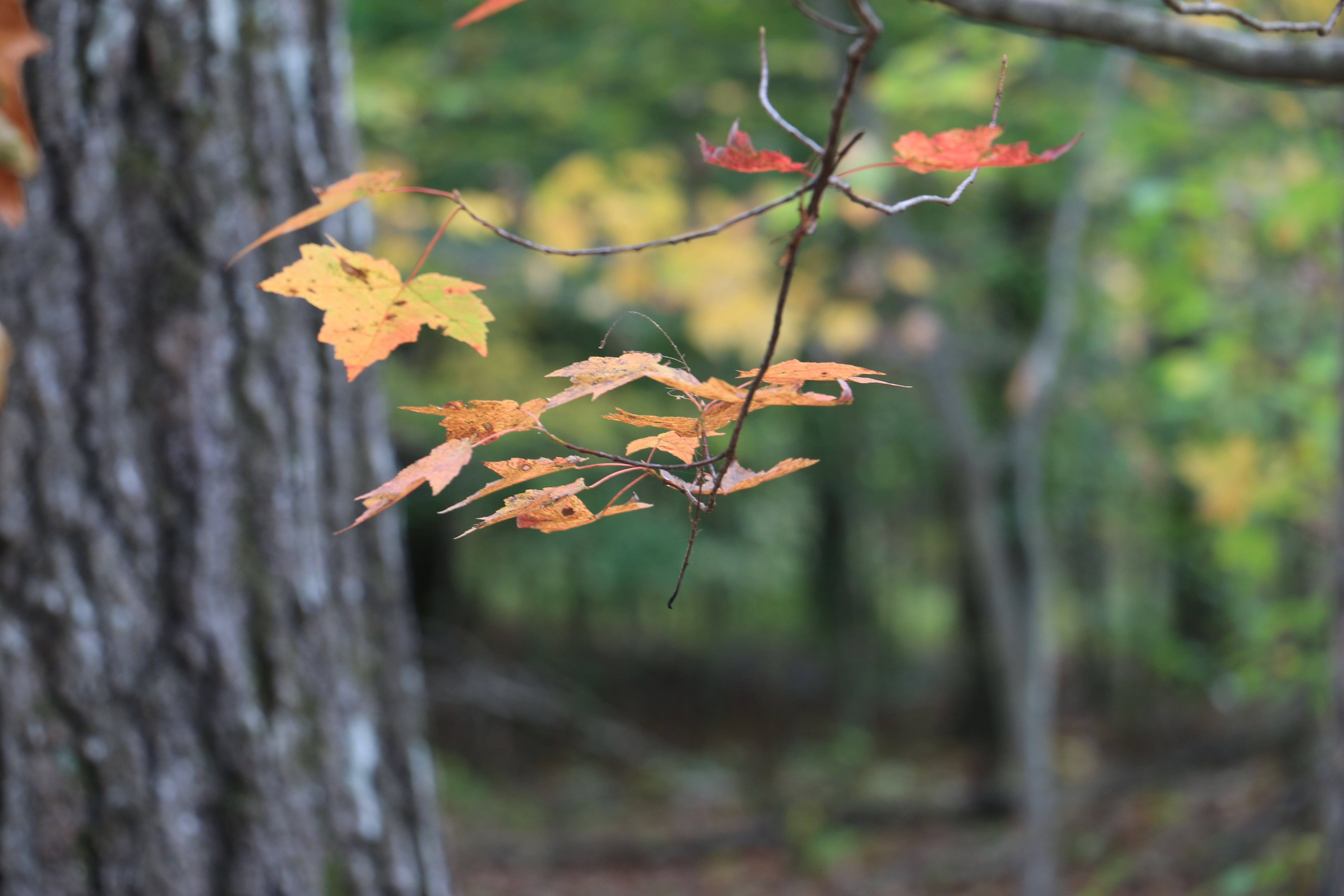 Free stock photo of autumn, changing leaves, fall, invitations