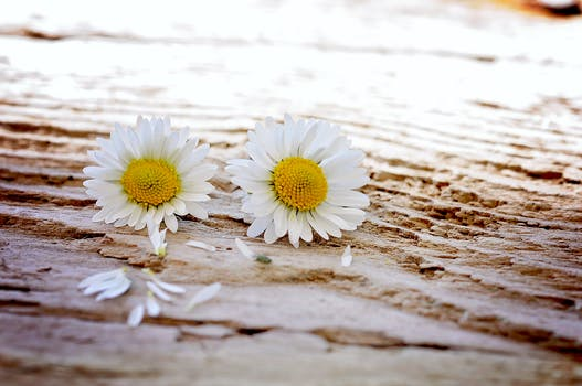 200 amazing daisy photos pexels free stock photos two white petal flower on surface mightylinksfo