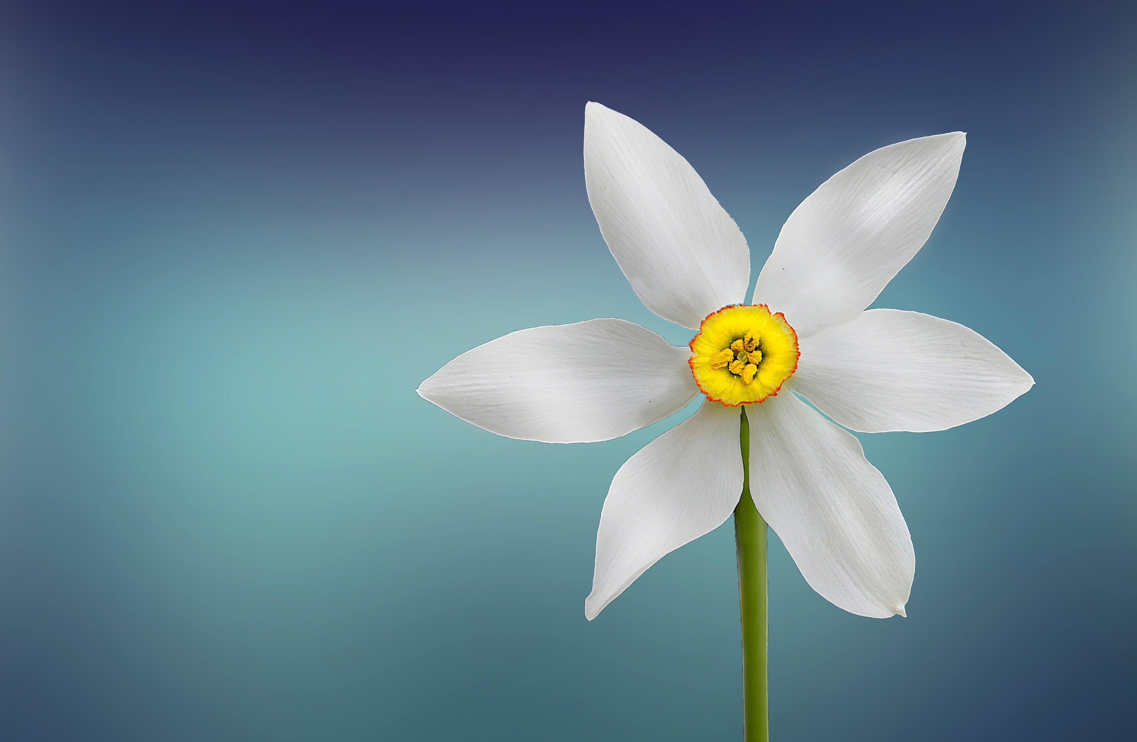Gratis lagerfoto af blomst, flora, HD-baggrund, kronblade