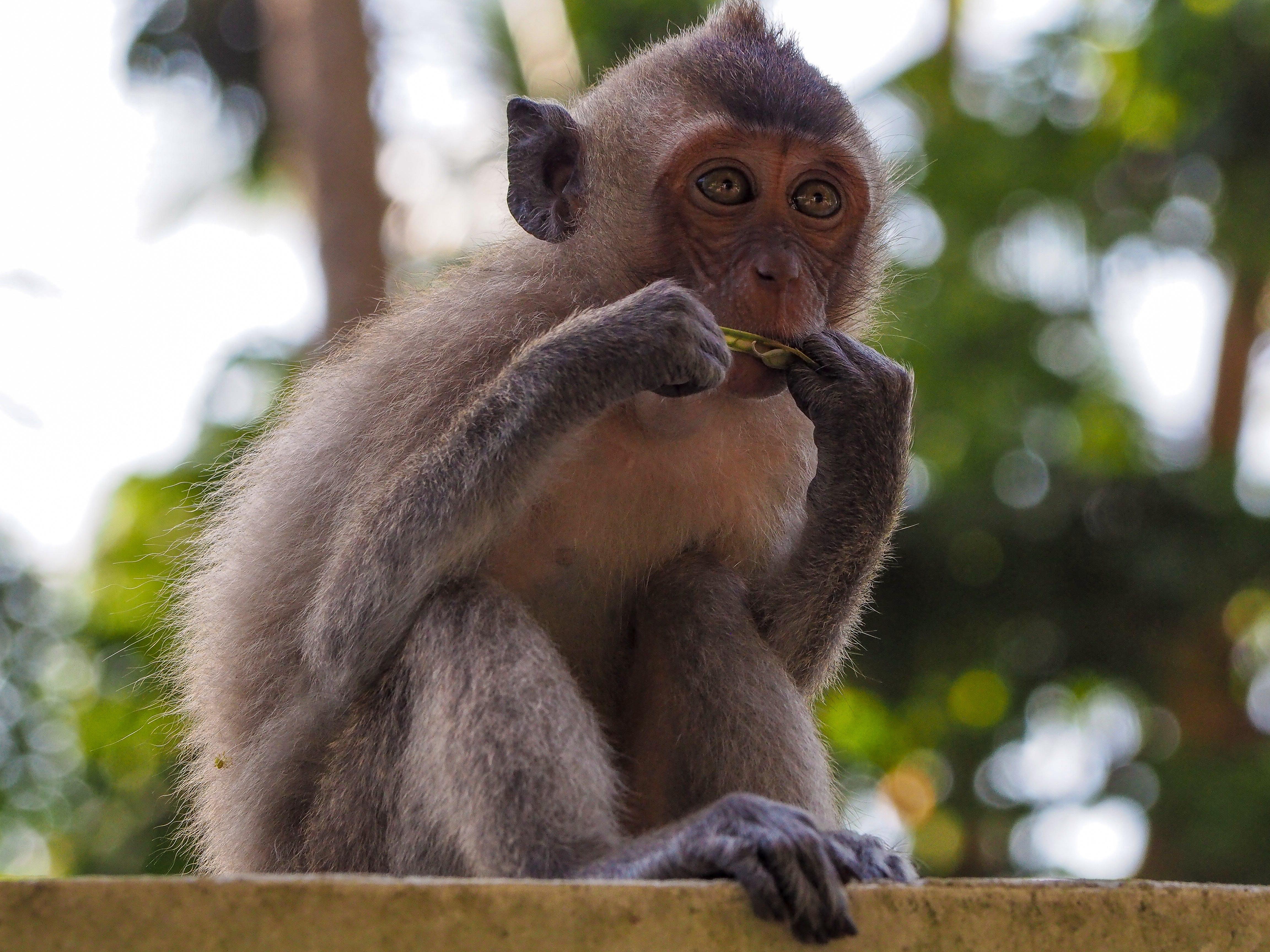 Free stock photo of animal, ape, asia, background