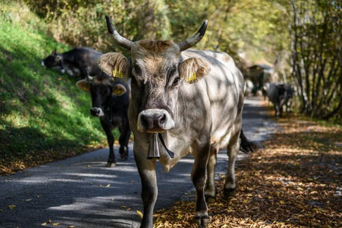 White and Black Cows on Gray Asphalt Road