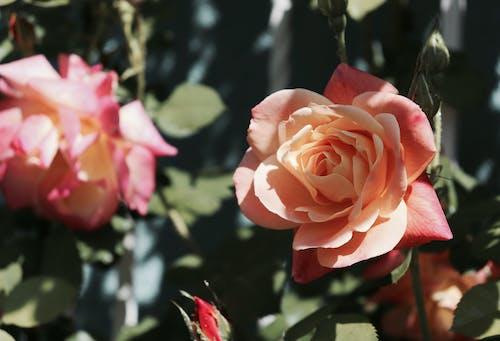 Foto profissional grátis de broto, cânone, eos, flor