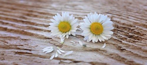Foto stok gratis aster, berkembang, bunga-bunga, flora