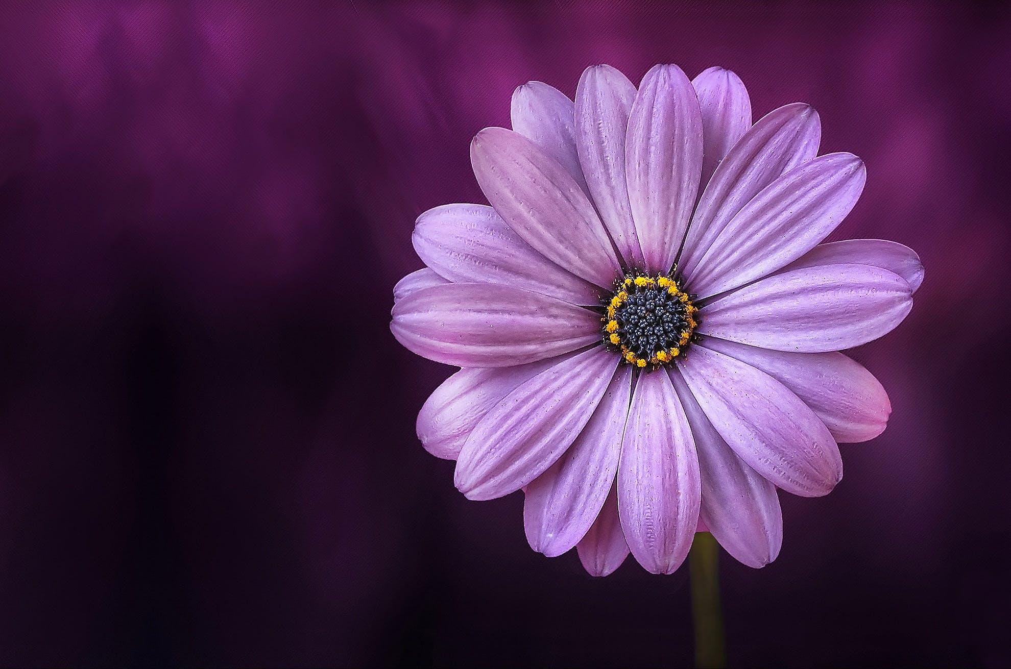 Purple Daisybush Flower