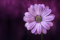 nature, purple, petals