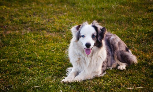 Free stock photo of animal, australian shepherd, blue eyes, blue merle