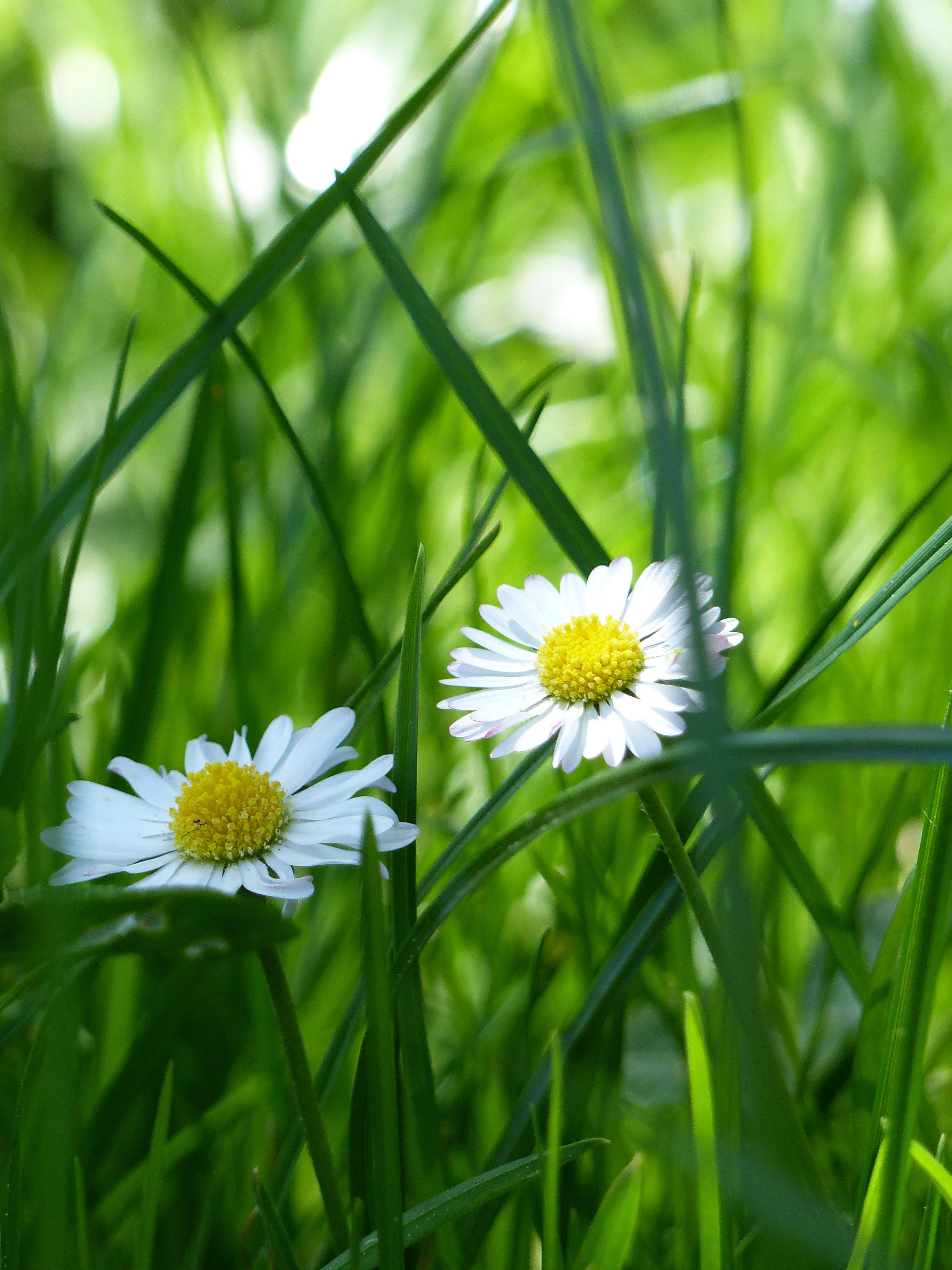 Безкоштовне стокове фото на тему «квіти, квітка, Природа, ромашки»