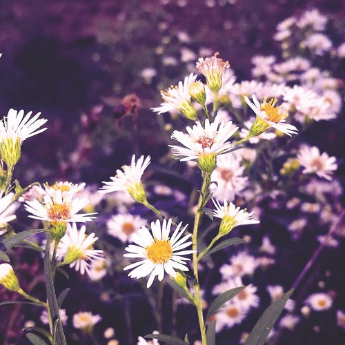 Free stock photo of bee, cellphone photography, daisy's, flowers