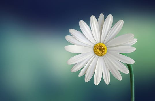 White And Yellow Flower With Green Stems HD Wallpaper