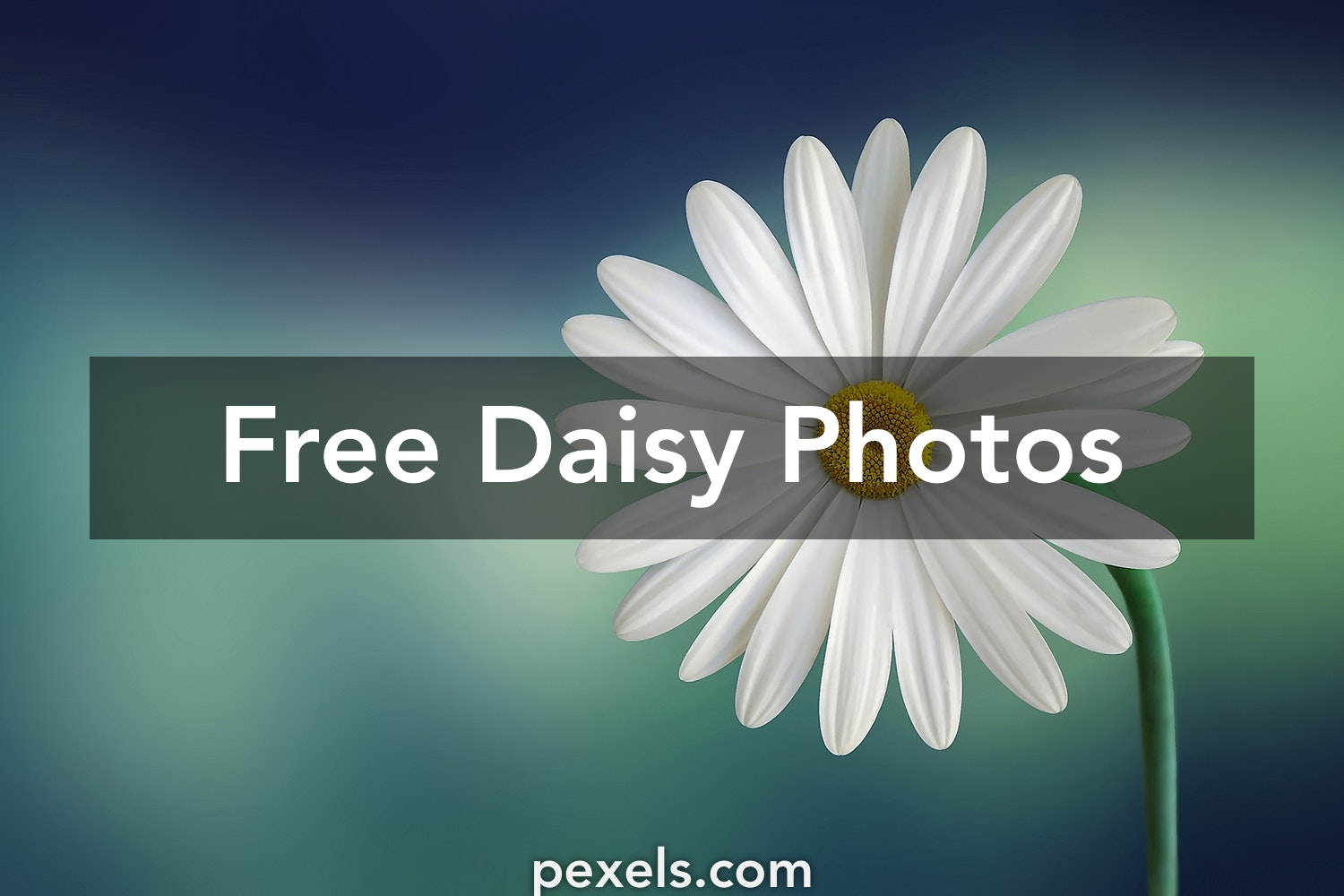 200 amazing daisy photos pexels free stock photos izmirmasajfo