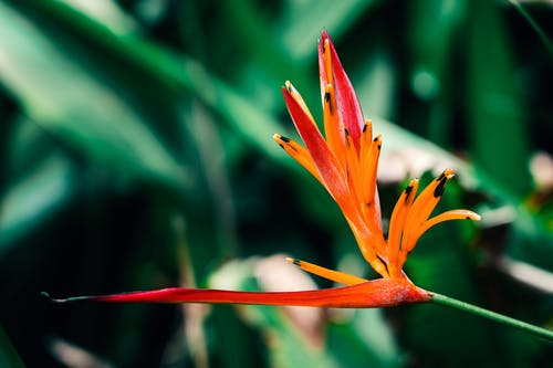 Free stock photo of birds of paradise flower, close-up, copy space