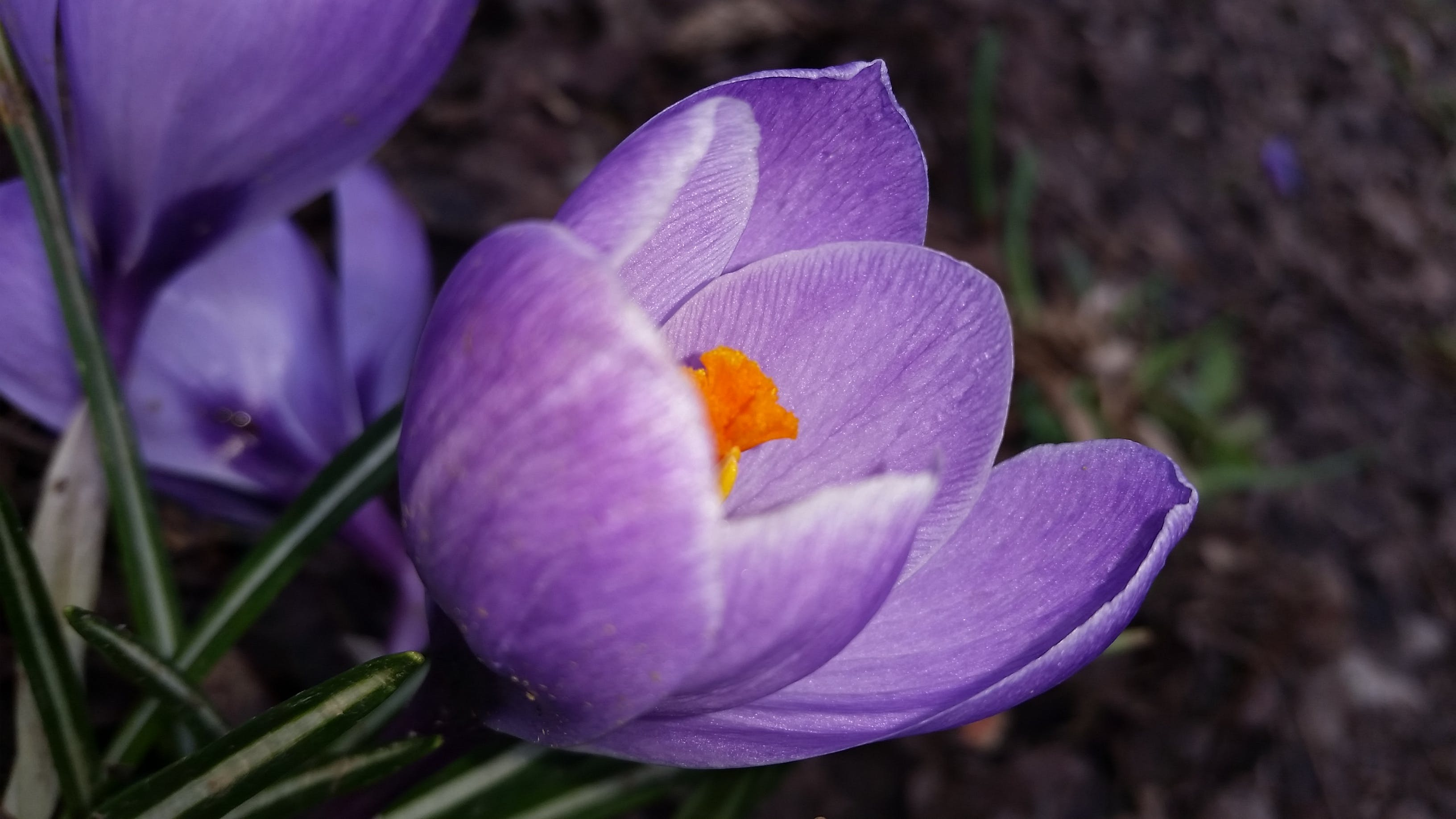 Free stock photo of crocus, flora, flower, nature