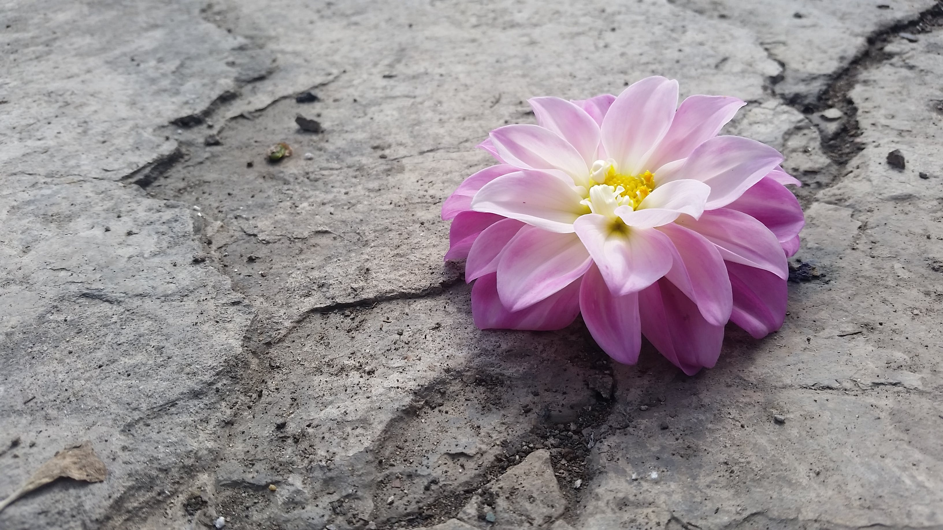 Free stock photo of concret, crack, flora, flower