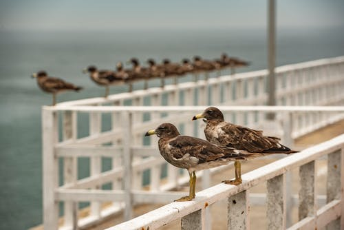 Flock of Brown Birds Preach On Bay Area
