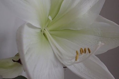 Free stock photo of flower, flower close-up, lily