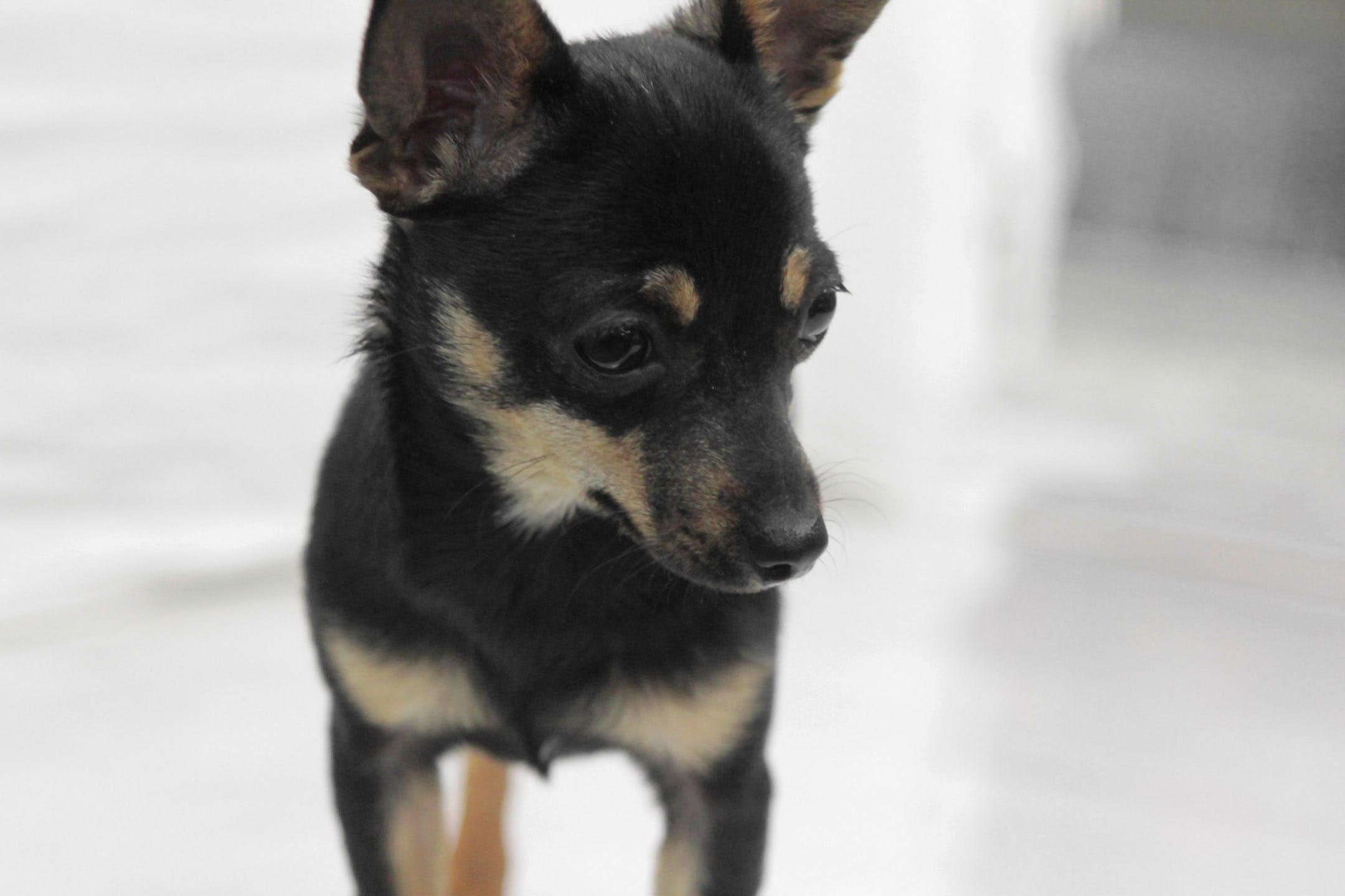Free stock photo of chihuahua, cute, dog, pet