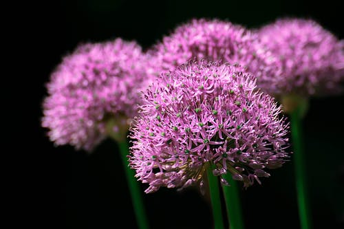 Fotobanka sbezplatnými fotkami na tému blume, cesnak, cesnakový kvet, detailný záber