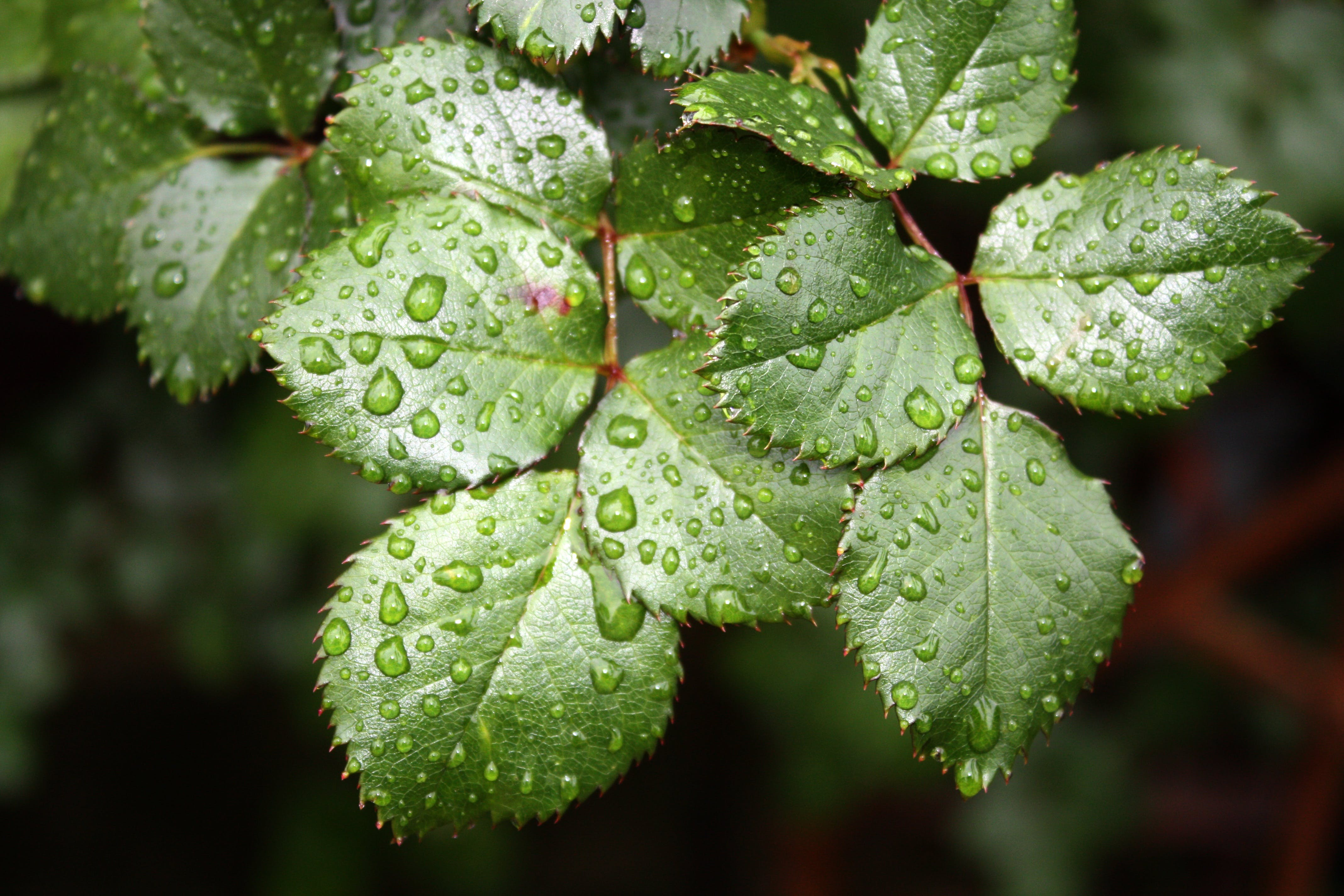 Green Rose Plant Leaves With Dew Closeup Photography