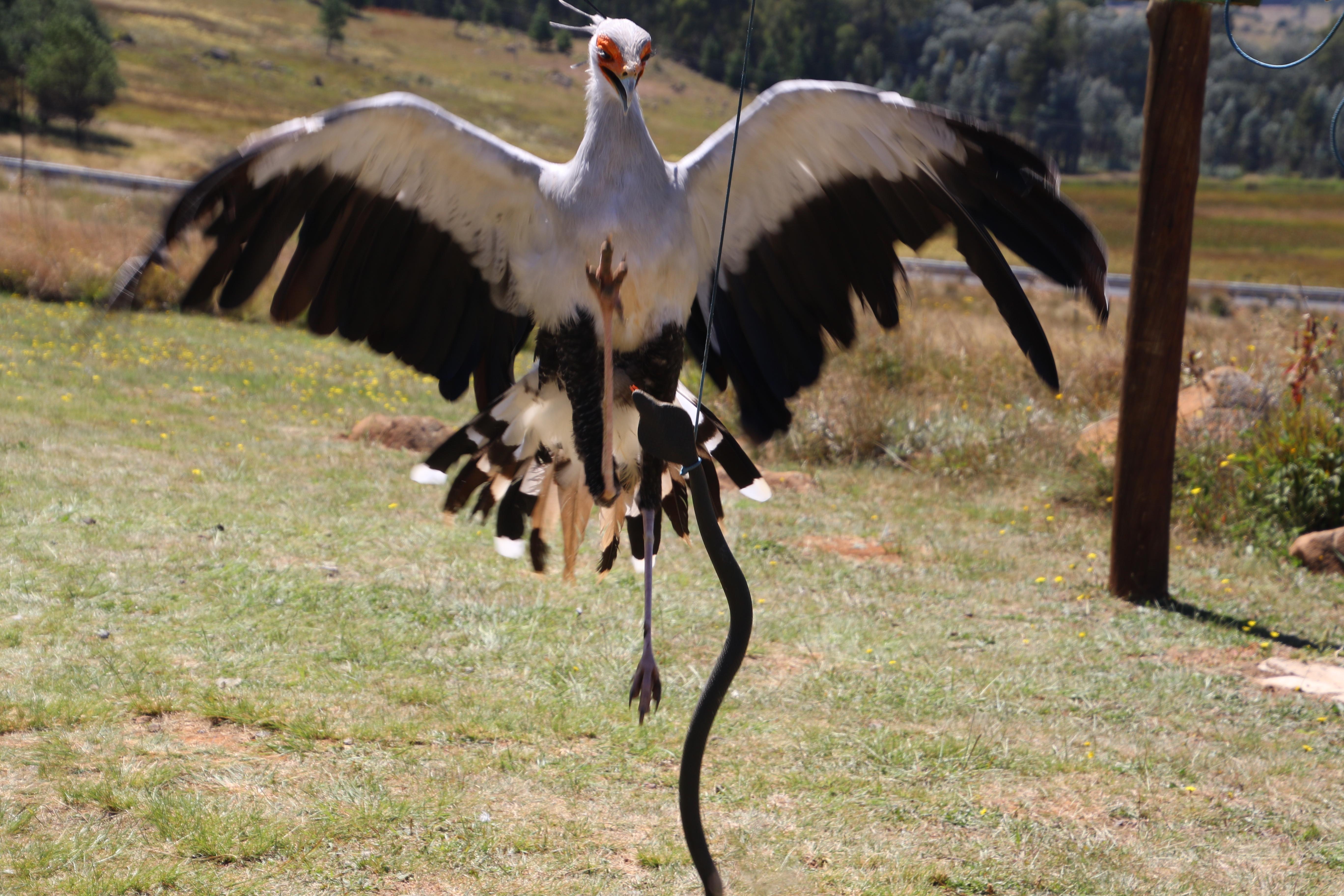 Μεγάλο μαύρο πουλί και λεία