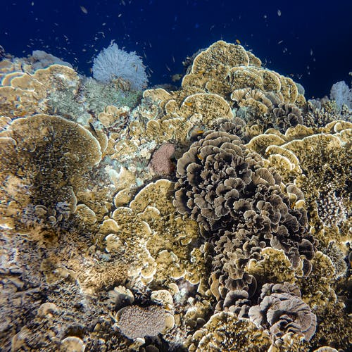 Underwater Photography of Brown Corals