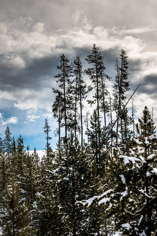 Green Pine Trees Under Cloudy Sky
