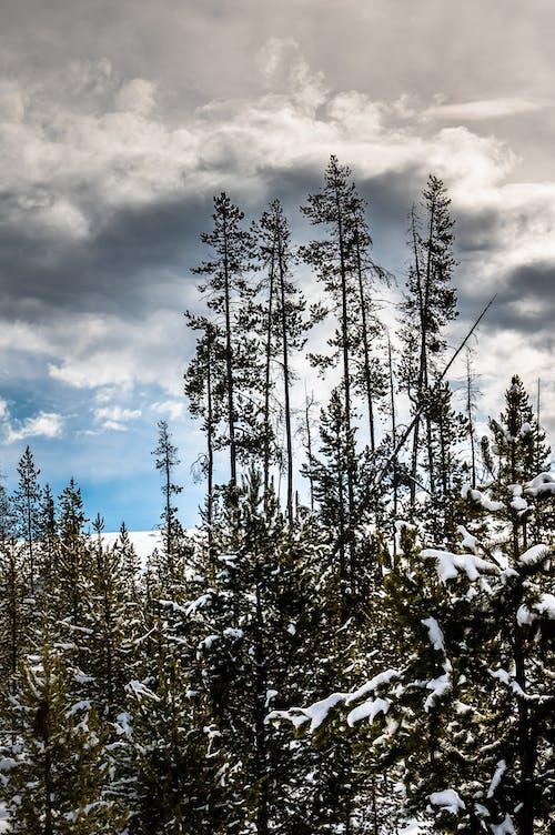 Imagine de stoc gratuită din arbore, arbori, arbori veșnic verzi, ceață