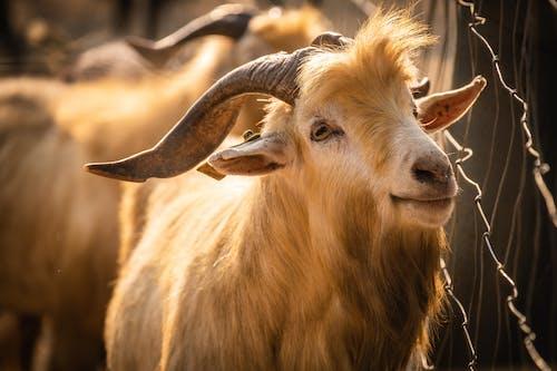 Foto d'estoc gratuïta de animal, animal de granja, animal domèstic, ariet