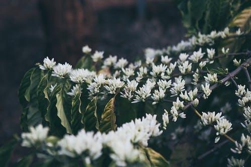 Imagine de stoc gratuită din cafea, cafea floare, floare