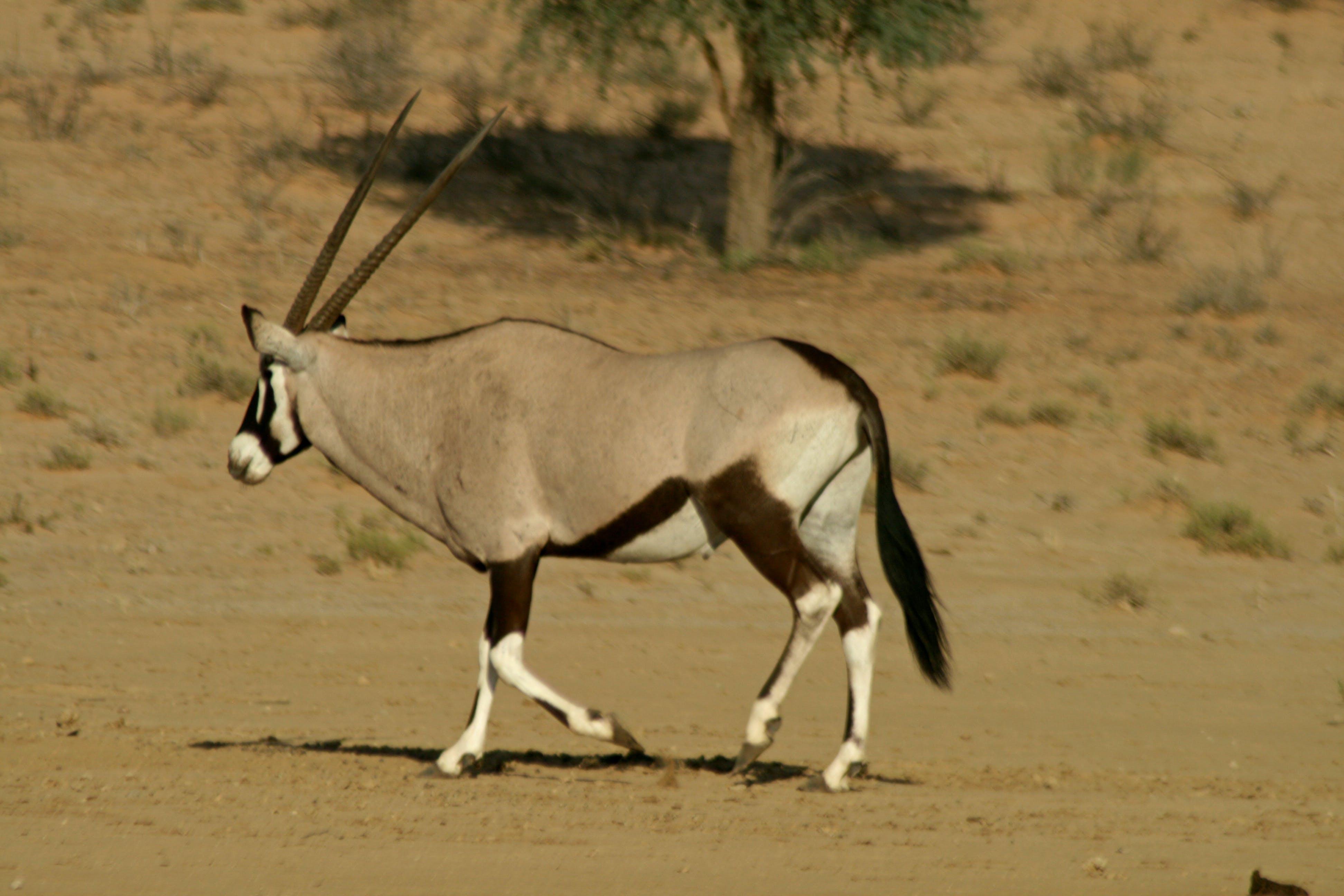 Free stock photo of sand, desert, animal, alone
