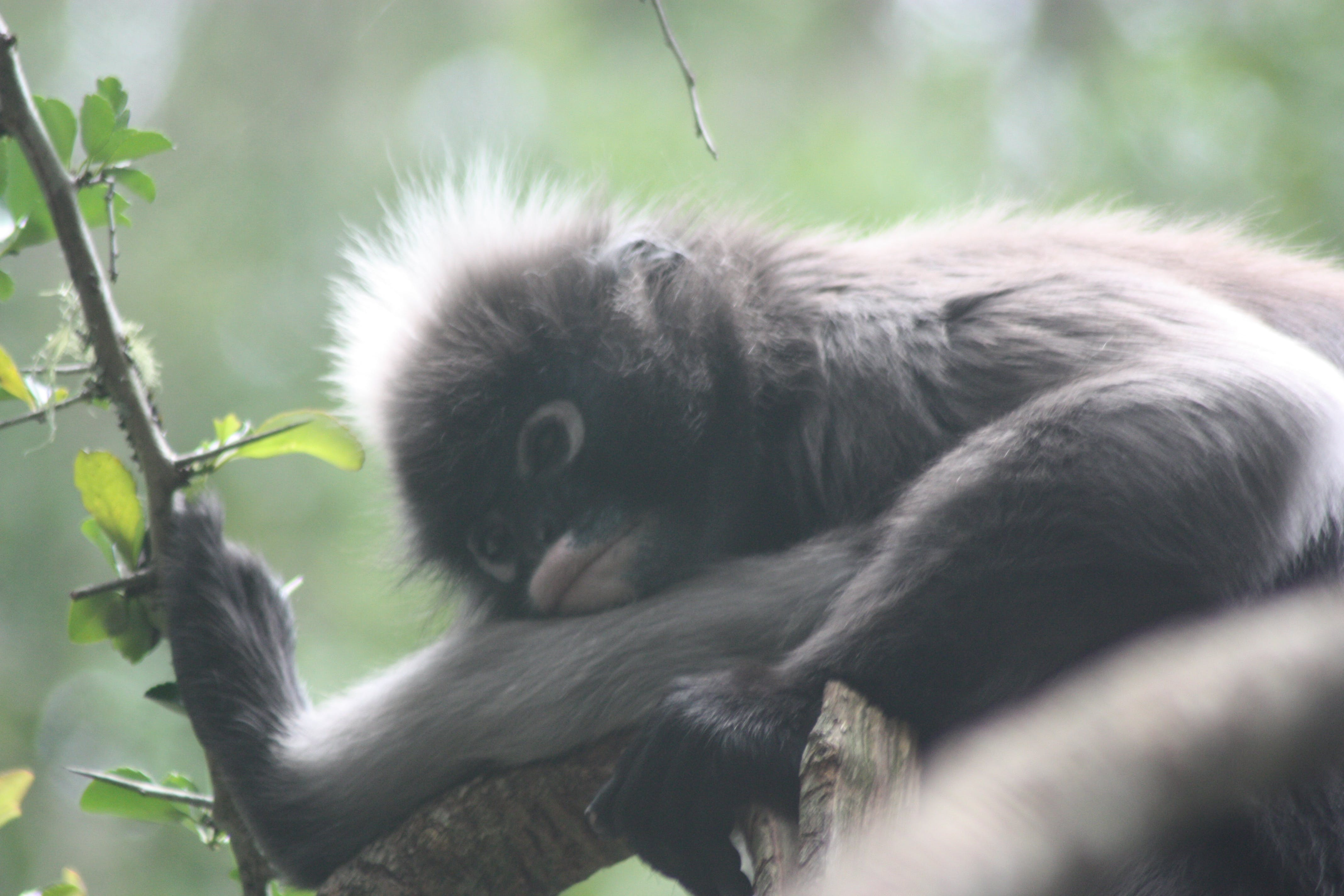 Free stock photo of animal, monkey, rest, tired