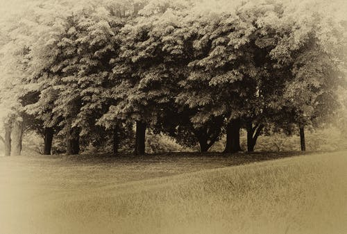 Foto profissional grátis de árvores, sépia