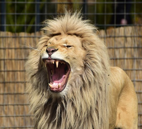 Lion Roaring Inside Cager